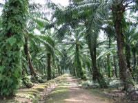 Plantação de palmeira para extrair óleo de cozinha